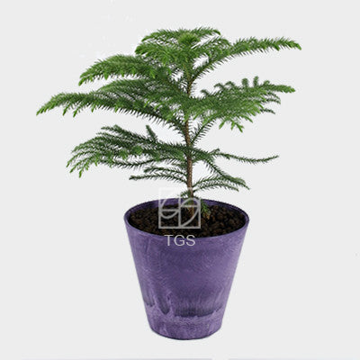 Araucaria heterophylla in 17x15 pot grape - Therapeutic Garden Sanctuary