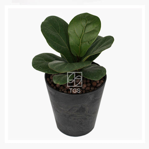Ficus lyrata in 12x13 black - Therapeutic Garden Sanctuary