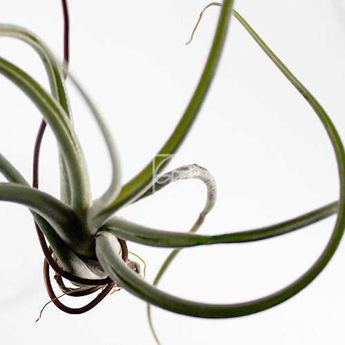 tillandsia 'octopus' - Therapeutic Garden Sanctuary