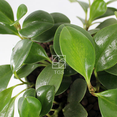 Peperomia obtusifolia in trio 20x20x11 white - Therapeutic Garden Sanctuary