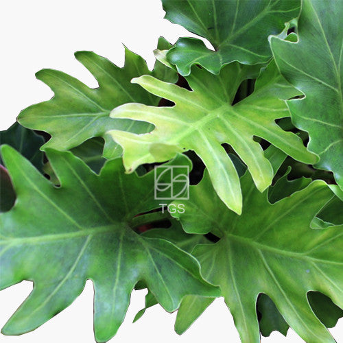 Philodendron xanadu in Hydro-Green Black - Therapeutic Garden Sanctuary