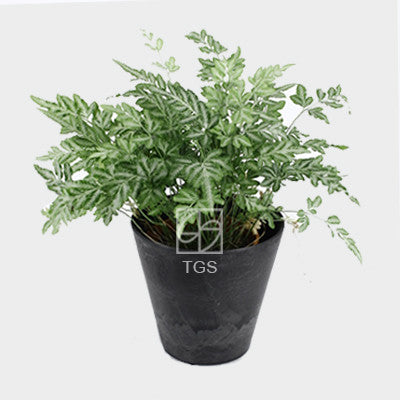 Pteris ensiformis in 17x15 pot black - Therapeutic Garden Sanctuary