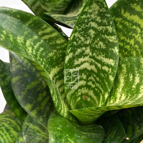 Sansevieria trifasciata 'Hanii' in Hydro-Green Black - Therapeutic Garden Sanctuary