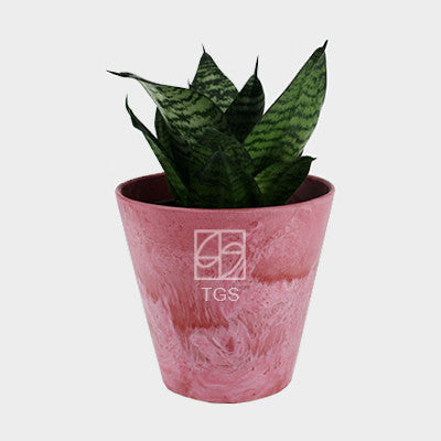 sansevieria trifasciata laurentii in 17x15 pot pink - Therapeutic Garden Sanctuary