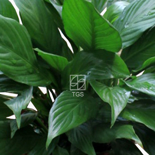 Spathiphyllum sensation in Hydro-Green White - Therapeutic Garden Sanctuary