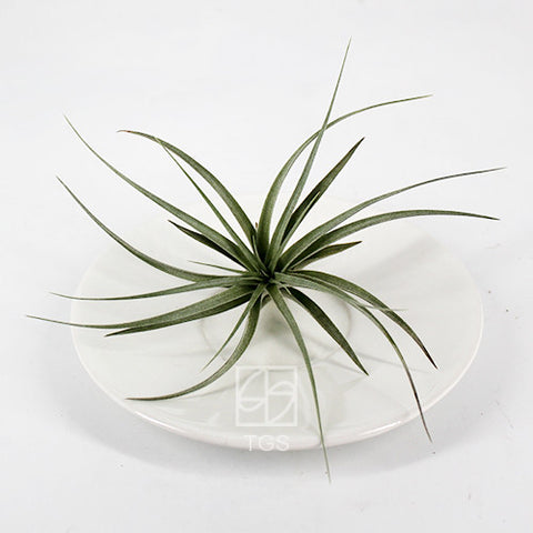 tillandsia harrisii - Therapeutic Garden Sanctuary