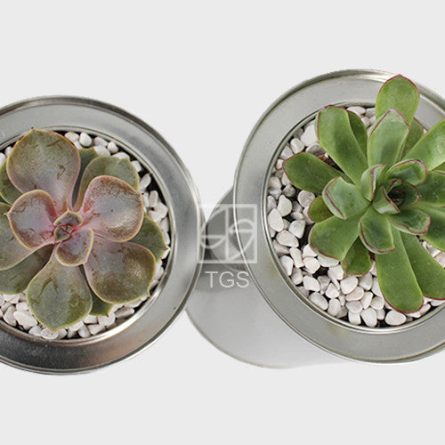 Succulent set in Korean Tabletop Silver Planter - Therapeutic Garden Sanctuary