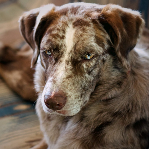 Gentle older dog with white/brown face