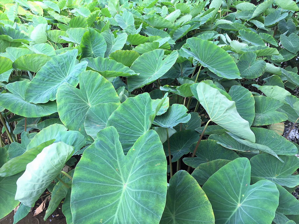 Kalo (Taro), Rooted in the Hearts of Hawai'i
