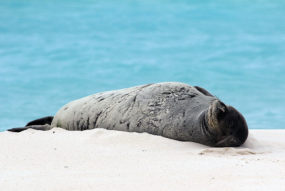 A Glimmer of Hope for the Hawaiian Monk Seal Population!