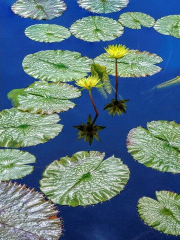 Bruce Lewis: Water Lilies