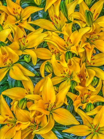 Bruce Lewis: Yellow Lilies