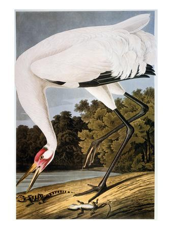 John James Audubon Postcard