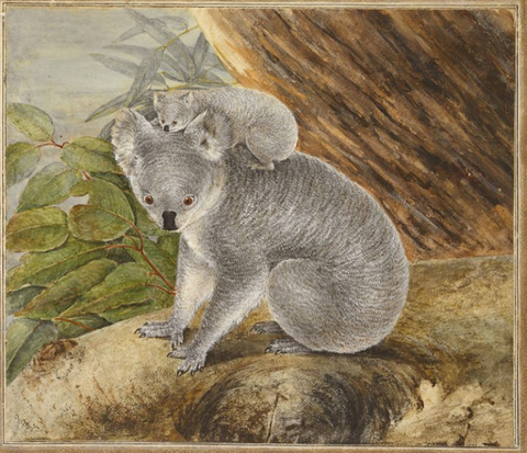 Koala collectables: One of the very first paintings of a Koala, by John Lewin.