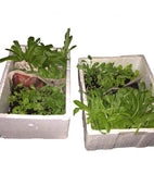 Seedlings (3 Weeks Old Leafy Vegetables)