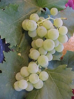Grape Interlaken seedless - Reads Nursery