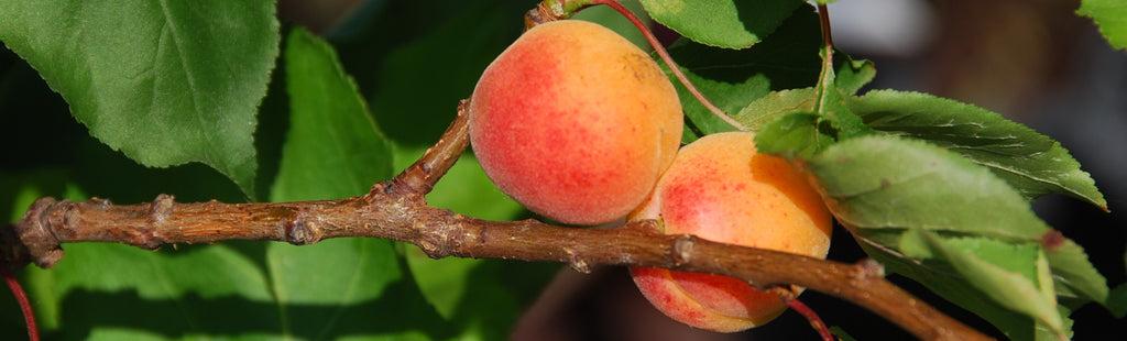 Apricot, an easy to grow tree