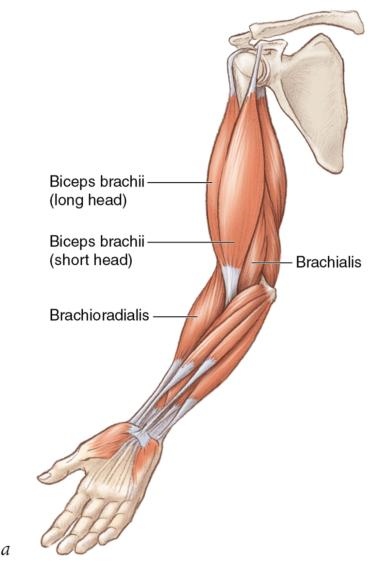 Figure 2.2 Muscles exert forces that enable bones to move relative to each other.