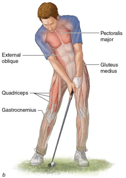 Figure 2.12 Muscles used in three of the five phases of the golf swing: take-away, acceleration, and follow-through.
