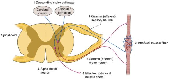 Figure 6.13 The gamma system is a complex organization that regulates alignment and muscle tension. Messages go from the brain () by way of the gamma motor neuron () to the intrafusal muscle fibers (). The gamma sensory neuron responds (), and it sends its message to the alpha motor neuron (), which contracts the extrafusal muscle fibers ().