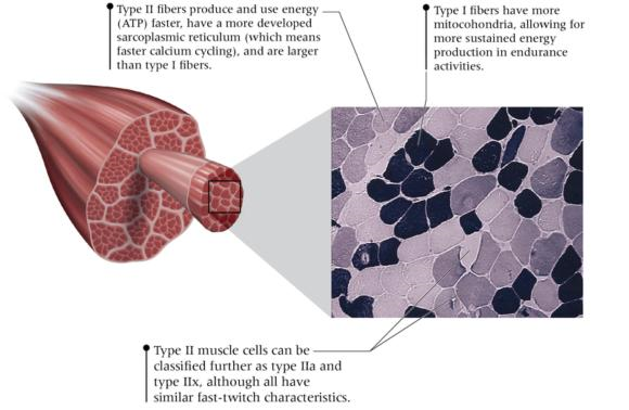 Figure 1.5 Muscle cells are called on to accomplish all sorts of tasks, so it should be no surprise that cells are specialized for distinct functions.