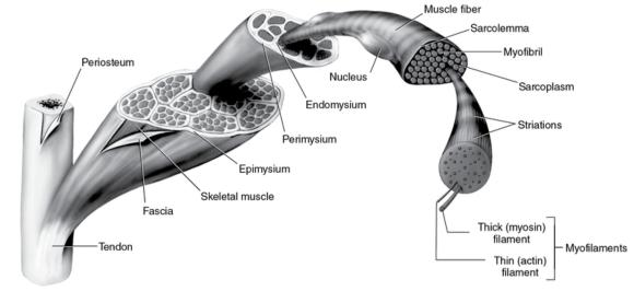 Figure 2.4 Structure of skeletal muscle and related connective tissue.