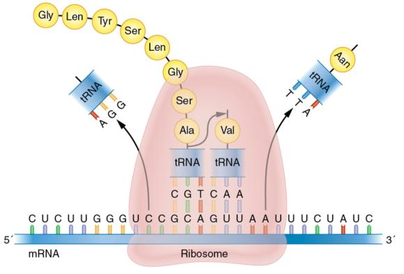 Figure 11.4 Overview of the translation of mRNA into protein. The ribosome binds to mRNA and moves one codon at a time downstream, where transfer RNA drops off an amino acid that links with the previous amino acid, thereby forming a polypeptide chain that continues until the ribosome reaches a stop codon.