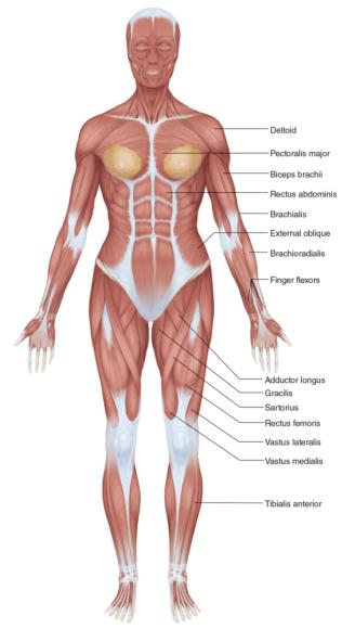 Figure 2.2 Full-body female anatomy (anterior view).