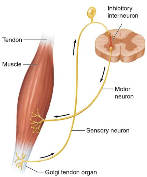 Figure 1.3 Golgi tendon organ.