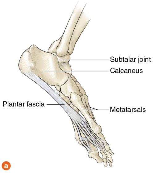 Figure 9.4 Foot: underside showing plantar fascia; medial side.