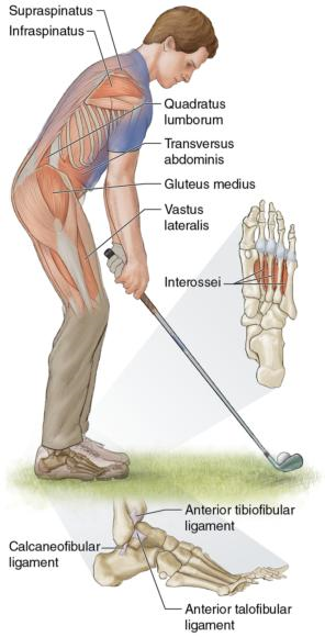 Figure 4.1 Key muscles for balancing in the core and feet. Balance is the process by which the golfer maintains the center of gravity over the base of support.