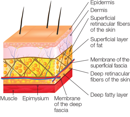 Fascial layers