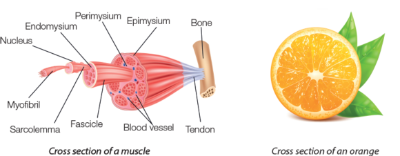 Visual comparison of an orange and a muscle