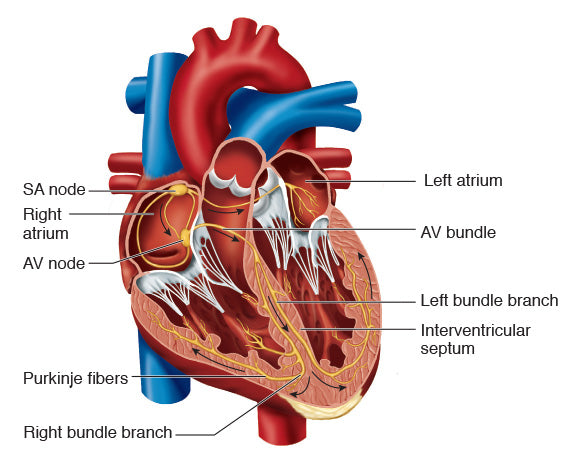 Figure 10.16 Nerves of the heart.
