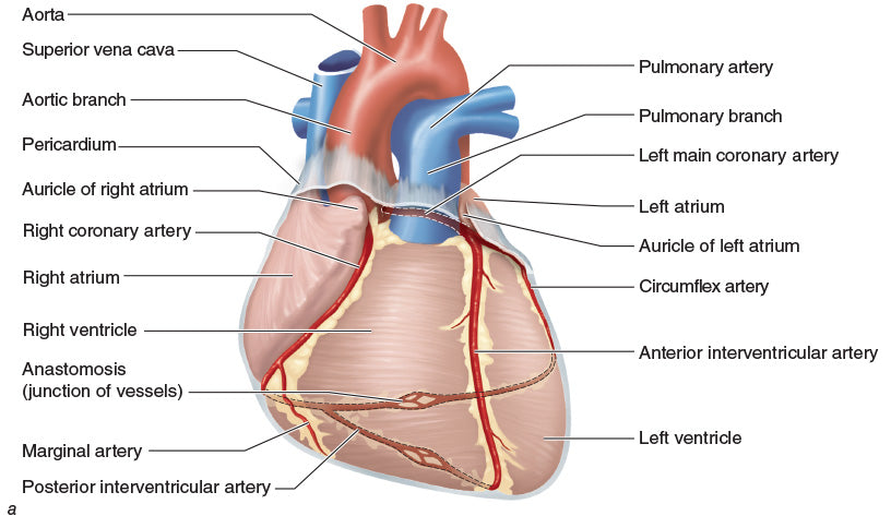 Figure 10.18 Heart blood vessels: (a) anterior heart. (continued)