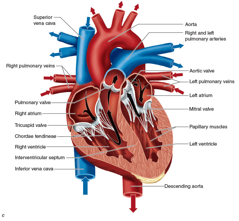Figure 10.18 (continued)Heart blood vessels: (b) posterior heart, and (c) cross section of the heart.
