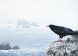 Return of the Chough
