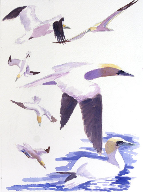 Gannets. Watercolour.  12 x 9 ins