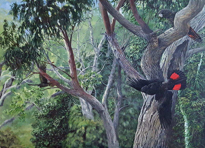 Red tailed black Cockatoo. limited edition print
