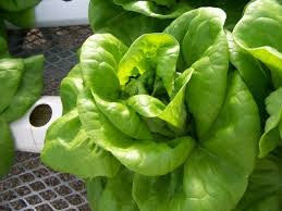 Hydroponic Romaine Lettuce Seeds - Certified Non-GMO Pelleted - Aquaponics (100 Seeds)
