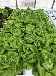 Hydroponic Buttercrunch Lettuce Seeds - REX - Pelleted - Certified Non-GMO NFT DWC (50 seeds)