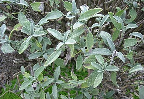 Certified Non-GMO Sage Seeds (25 seeds)