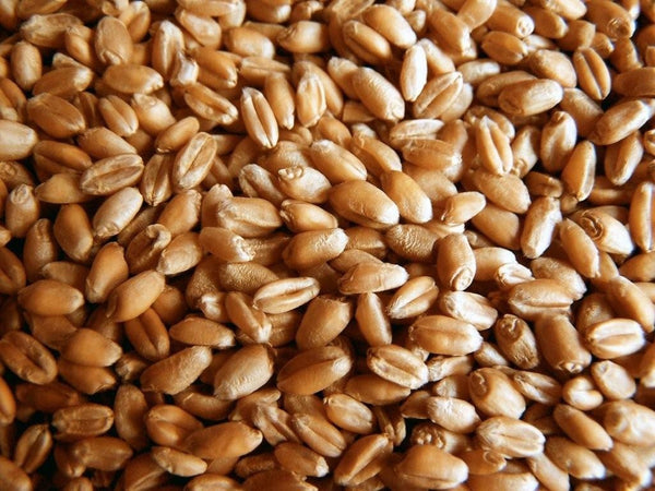 Certified Organic Wheatgrass Seeds for Sprouting