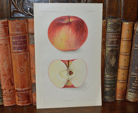 Antique Apple Botanical Print Book Plate 1905 - Antique Flea Finds