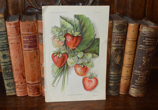 Antique Strawberry Botanical Print Book Plate Page 1912 - Antique Flea Finds - 1