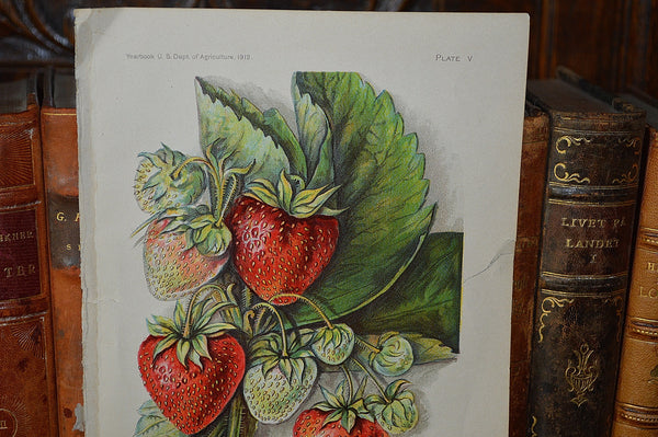 Antique Strawberry Botanical Print Book Plate Page 1912 - Antique Flea Finds - 2