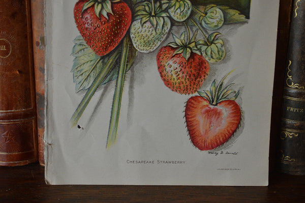 Antique Strawberry Botanical Print Book Plate Page 1912 - Antique Flea Finds - 3