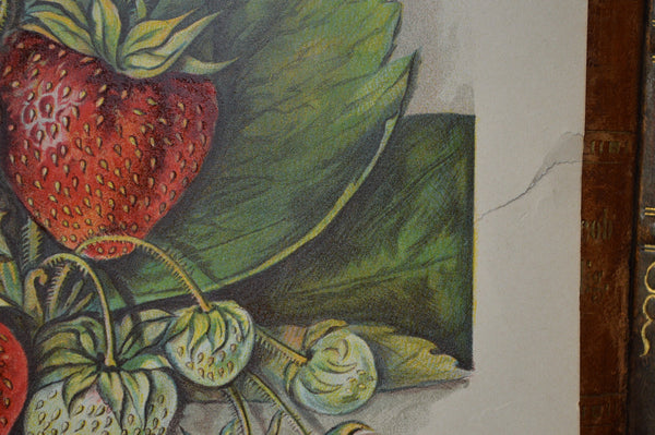 Antique Strawberry Botanical Print Book Plate Page 1912 - Antique Flea Finds - 4