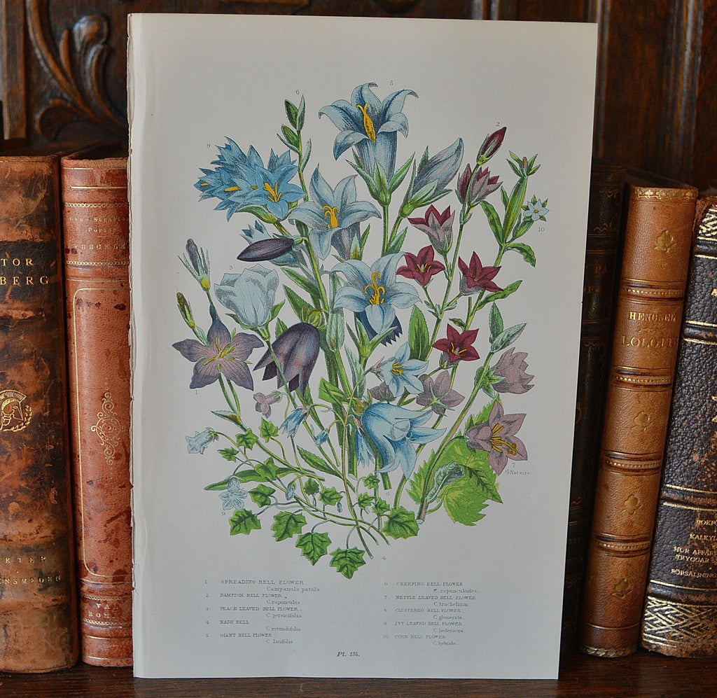 Antique Blue Floral Bell Flower Botanical Print Book Plate Page - Antique Flea Finds