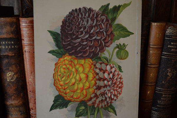 Antique Floral Botanical Print Double Dahlias Lithograph James Vick - Antique Flea Finds
